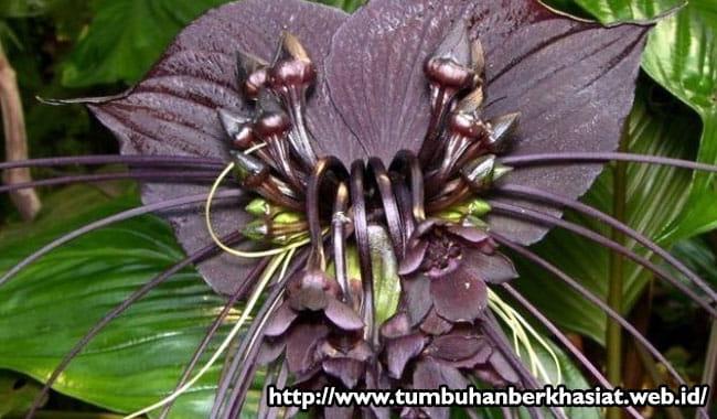 bunga-kelelawar-hitam
