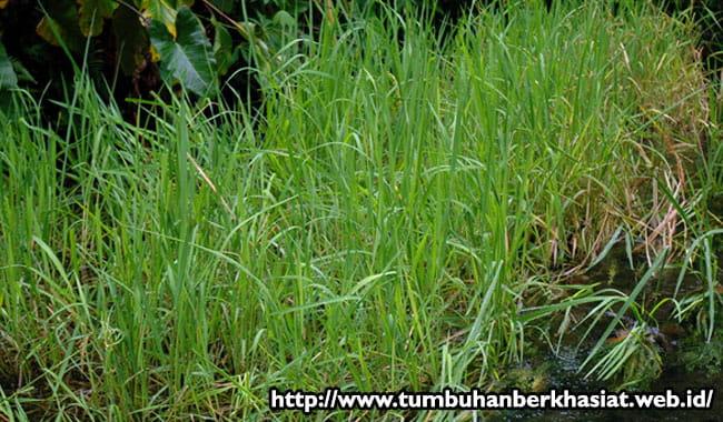 5 Rumput Liar yang Bisa Dimakan