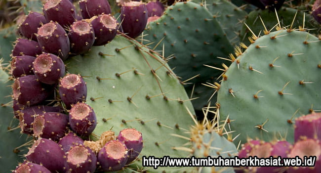 Prickly Pear / pear kaktus