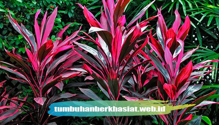 Khasiat Tumbuhan ANDONG (Cordyline fruticosa)