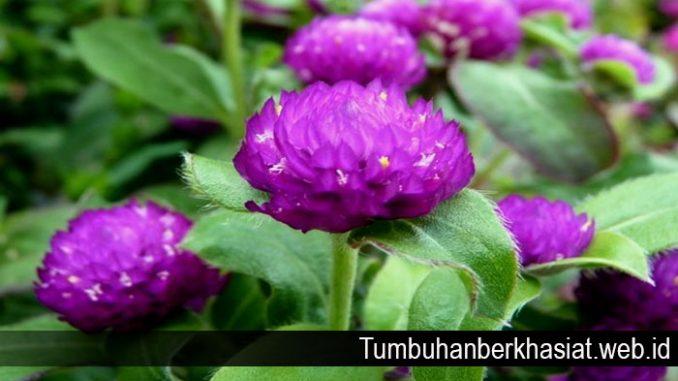 Manfaat Bunga Kenop untuk Kesehatan