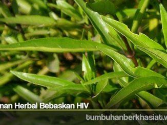 Tanaman Herbal Bebaskan HIV