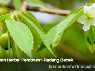 Tanaman Herbal Pembasmi Radang Becek