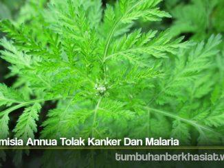 Artemisia Annua Tolak Kanker Dan Malaria