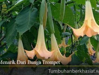 Fakta Menarik Dari Bunga Trompet
