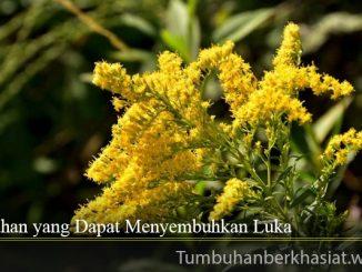 Tumbuhan yang Dapat Menyembuhkan Luka