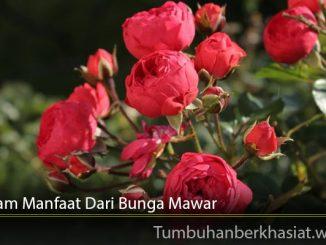 Beragam Manfaat Dari Bunga Mawar