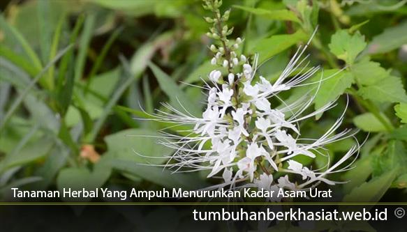 Tanaman-Herbal-Yang-Ampuh-Menurunkan-Kadar-Asam-Urat
