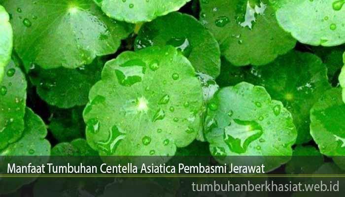 Manfaat Tumbuhan Centella Asiatica Pembasmi Jerawat