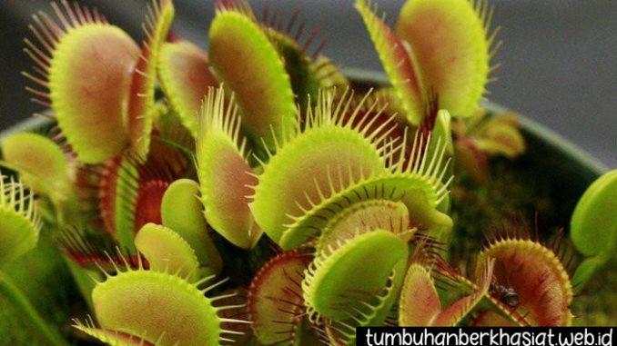 Tumbuhan Karnivora Untuk Basmi Serangga